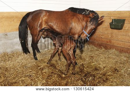 Newborn Foal Trying To Drink