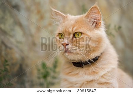 ginger persian cat outdoor close up portrait