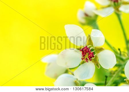 Pear Blooms In Yellow