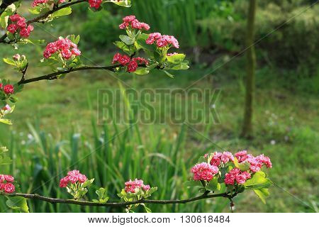 Pink & Purple Hawthorn On A Branch