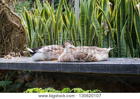 Ducks sleeping on rock slab head tucked under wing.
