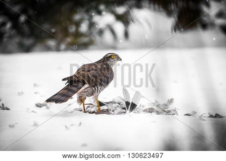 A male Goshawk with prey in snow