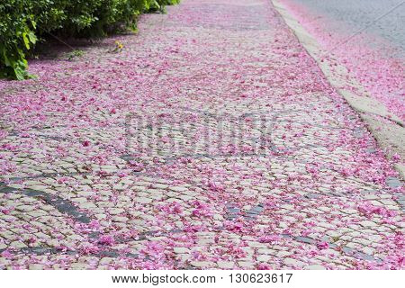 Pavement made from cobblestone two colors strewn with fallen petals of cherry blossoms
