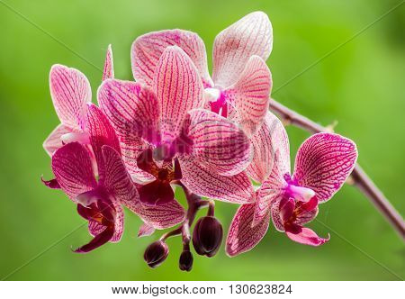 Phalaenopsis orchid with purple flowers on a green blurred background closeup