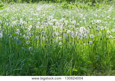 Glade covered tall grass mixed by dandelions with ripe downy seed heads closeup