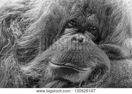 orangutan monkey looking at you in black and white
