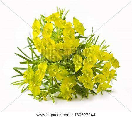 Cypress spurge (Euphorbia cyparissias) on white background