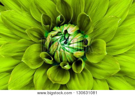 Dahlia flower closeup. Macro. Can be used in the design of the site and in printing. Also good for designers. Yellow green.