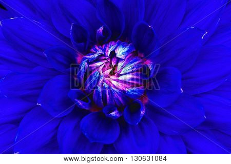 Dahlia flower closeup. Macro. Can be used in the design of the site and in printing. Also good for designers. Blue pink.