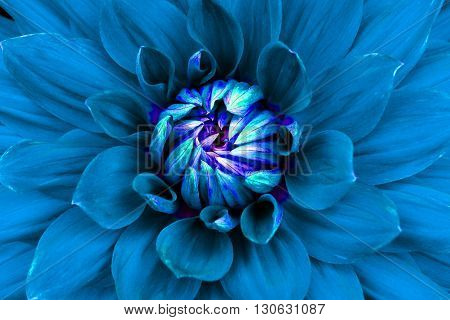 Dahlia flower closeup. Macro. Can be used in the design of the site and in printing. Also good for designers. Blue.