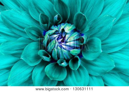 Dahlia flower closeup. Macro. Can be used in the design of the site and in printing. Also good for designers. Cyan blue.