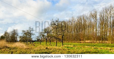 Bare apple trees in a small row in an historic polder in the Netherlands. It is a sunny but cloudy day in the fall season.
