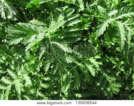 Tansy, Tanacetum vulgare, in herb garden for herbal medicine