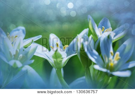 Snowdrops in spring season