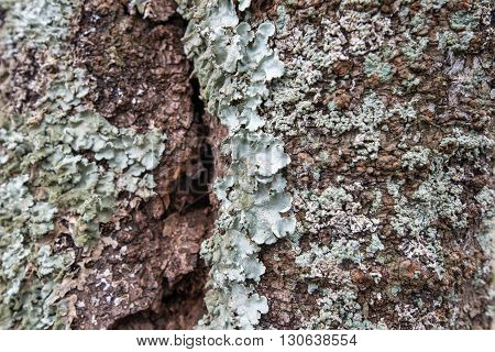 Close up of Lichens and moss on tree bark
