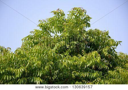 Neem plan tree in garden , Azadirachta indica