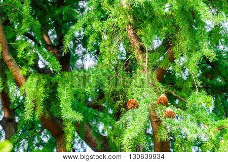 Branch of Pine Tree with  Pine Cone