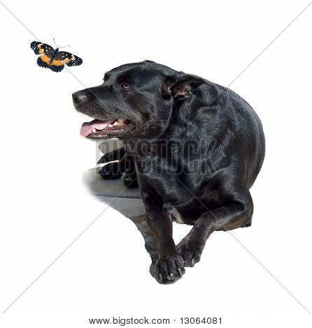 Black Labrador Retriever With Butterfly