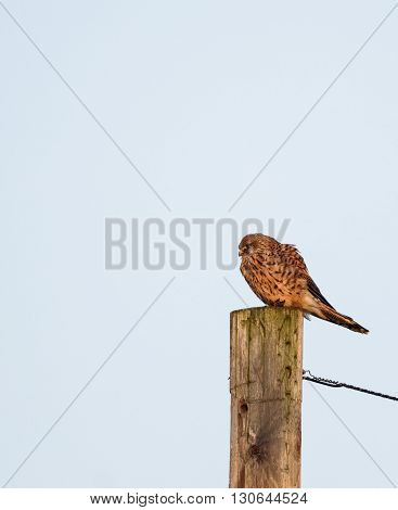Kestrel sat on post looking for prey