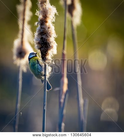 Blue tit helping with seed dispersal on a bulrush