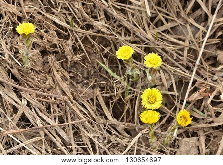 Coltsfoot - the first flowers of spring. Coltsfoot flowering on the background of last yearís grass.