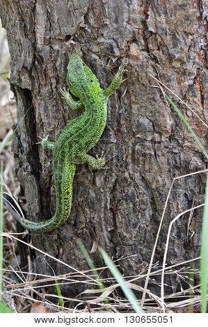 Sand lizard Lacerta agilis. The male lizard in breeding green color.