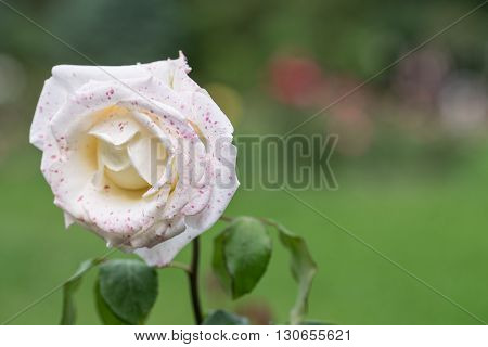 White rose with red specks. Flowers and grass in the background are blurred.
