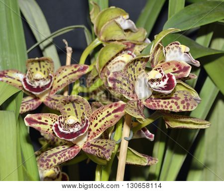 Cymbidium Hybrid Orchid Harriet Ishitani Exotic house plane