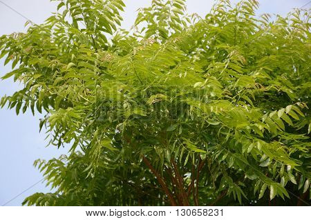 Neem plan tree in garden , Azadirachta indica