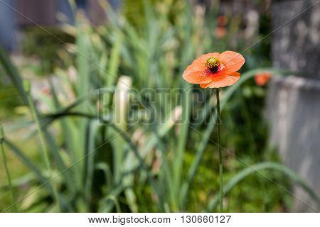 Poppy flowers field summer beautiful landscape., Orange poppy flower