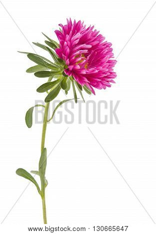 flowers pink aster isolated on white background