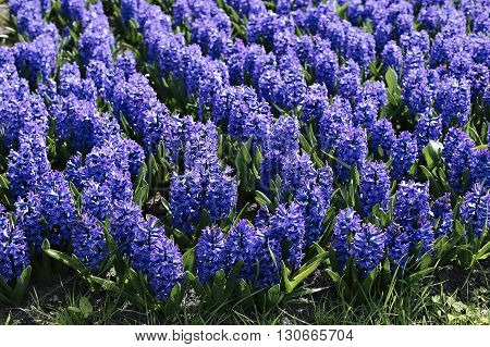 Background of blue hyacinth flowers on a sunny day in early spring