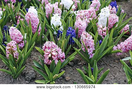 Pink and white hyacinth flowers on a sunny day in early spring