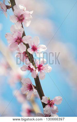 Plum blossom branch close up against blue sky vertical