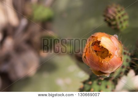 Orange color of the flower of cactus opuntia - prickly pear.