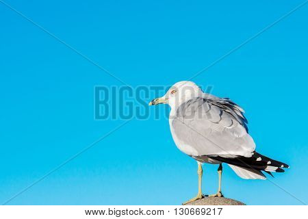 Common gull Larus canus single bird on column. Beutiful clear blue sky background. Bird resting after flight on the column near sea. Nature consept. Free disheveled gray white yellow looking back
