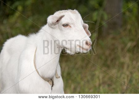 White goat grazes in a meadow country