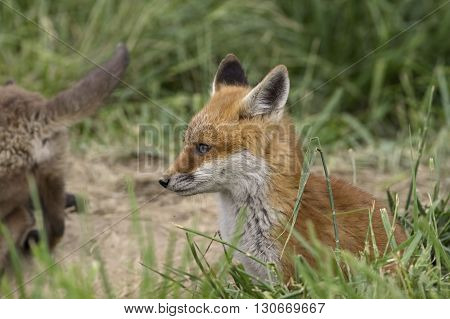 Young red fox at den. Red fox is the largest of the true foxes of the Carnivora, being present across the entire Northern Hemisphere from the Arctic Circle to North Africa and North America.