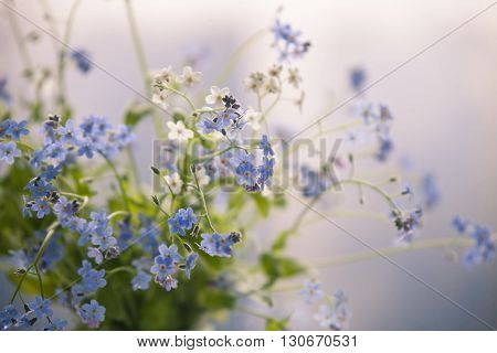 Forget-me-not blue forest flowers - nature background