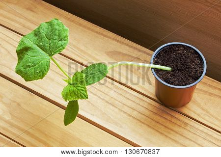 Growing vegetables: young cucumber plant in pot on beautiful wooden background (mini F1 variety).