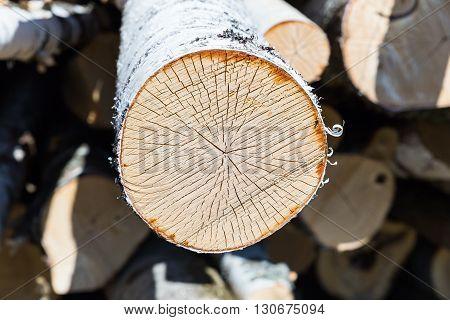 slice of birch, Slice of birch timber.