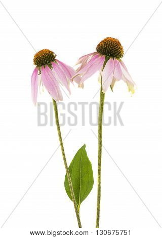 daisy herbal coneflower isolated on white background