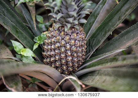 Pineapple cultivation in spice garden of Kochi, Kerala. A fresh pineapple is seen on the tree along with its dark green long leaves. Pineapple is one of the most famous seasonal fruits.