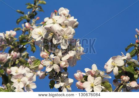shot of flowers on the apple tree
