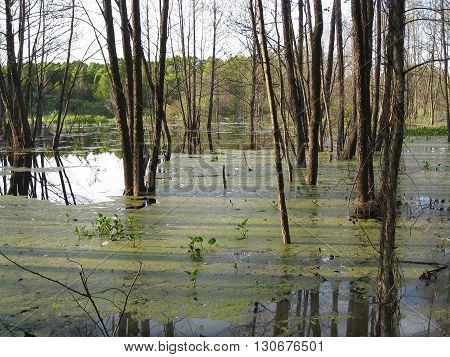 Forest swamp on a bright spring day