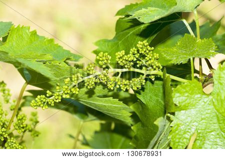 Flowering of a grapevine on may sunny day