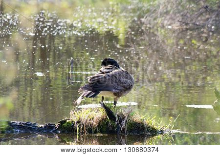 canadian goose preening itself on a small island in a small lake.