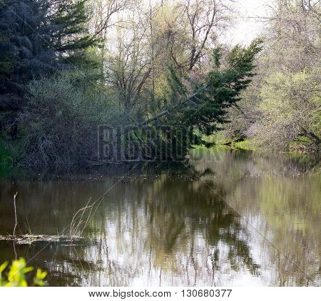 a swamp scene with a tree leaning over the water with woods reflecting in the water.