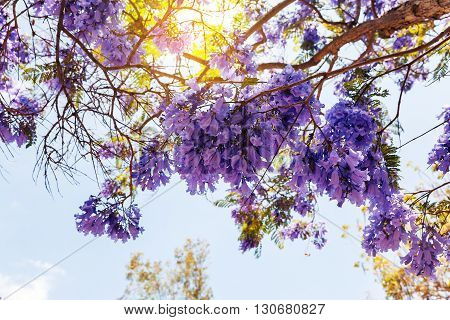 Blooming Jacaranda Tree in San Diego California