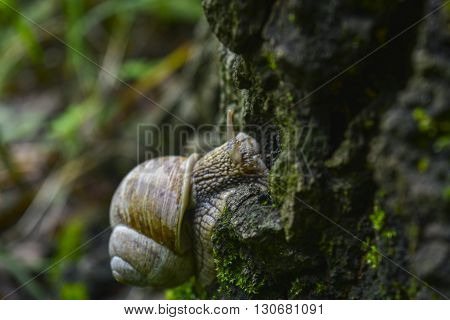 snails with shells crawling on a tree in a spring forest